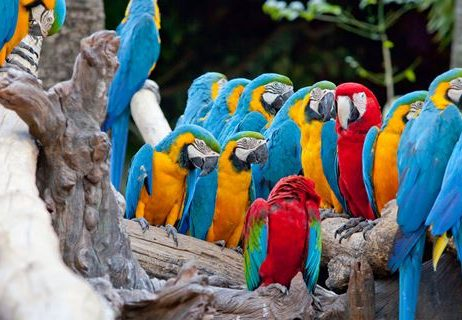 Macaws spottet at the Tanbopata National park