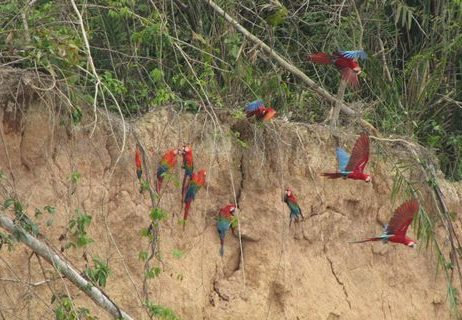 Spotting macaws in the Tambopata River