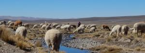 Llamas alpacas Colca Arequipa