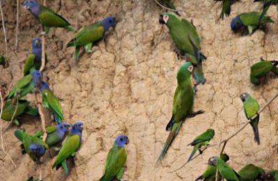 Macaws at clay lick