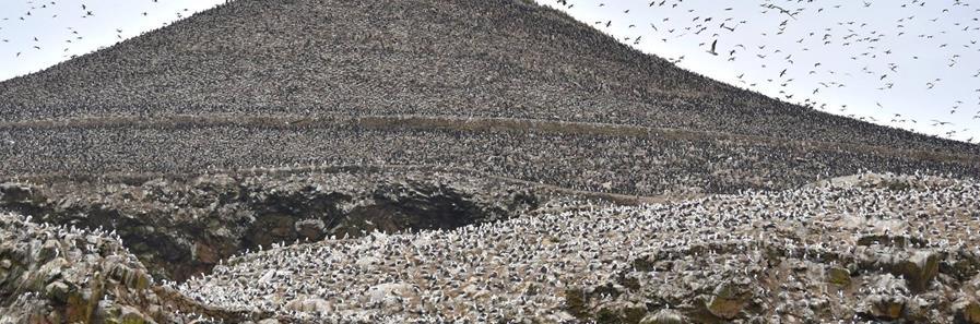 Marine wild life Ballestas Island Lima Peru