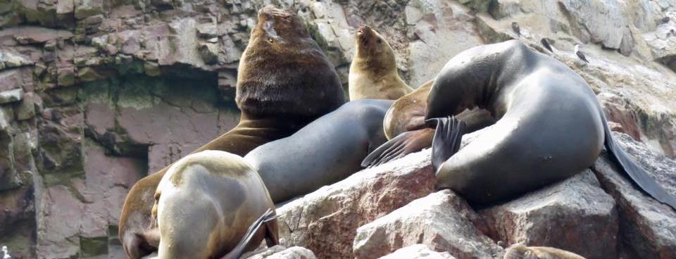 Sea lions at Ballestas islands